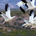 Bosque Snow Geese Flyover by Randy Jackson