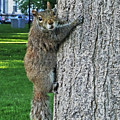 Boston Common Squirrel Hanging From A Tree Boston Ma by Toby McGuire