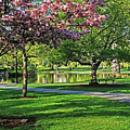 Boston Public Garden Pond Through The Cherry Blossom Spring Day by Toby McGuire