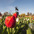 Boston Public Garden Tulips And George Washington Statue by Toby McGuire
