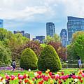 Boston Public Garden Tulips Boston Skyline Boston Ma by Toby McGuire