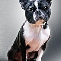 Boston Terrier By Spano by Michael Spano