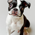Boston Terrier Dog Puppy by Square Dog Photography
