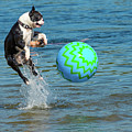 Boston Terrier High Jump by Les Palenik
