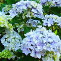 Botanical Art Prints Floral Hydrangea Flower Garden Baslee by Baslee Troutman
