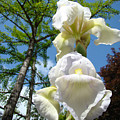 Botanical Landscape Trees Blue Sky White Irises Iris Flowers by Baslee Troutman