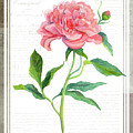 Botanical Vintage Style Watercolor Floral 1 - Peony by Audrey Jeanne Roberts
