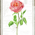 Botanical Vintage Style Watercolor Floral 2 - Pink English Rose by Audrey Jeanne Roberts