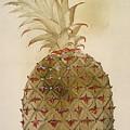 Botany: Pineapple, 1585 by Granger