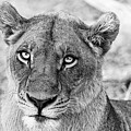 Botswana  Lioness In Black And White by Kay Brewer