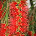 Bottlebrush Tree by Robert Hamm