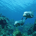 Bottlenose Dolphins And Coral Reef by Konrad Wothe