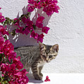 Bougainvillaea Tabby by Mikehoward Photography