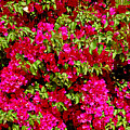 Bougainvillea And Foliage by Robert Meyers-Lussier