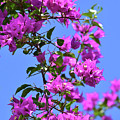Bougainvillea And Sky by William Tasker