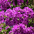 Bougainvillea Blooms by Bob Phillips