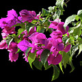 Bougainvillea Cutout by Shirley Heyn