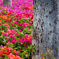 Bougainvillea Forever by Eggers Photography