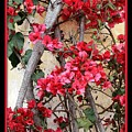 Bougainvillea On Mission Wall - Digital Painting by Carol Groenen