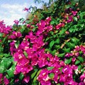 Bougainvillea by Sandy MacGowan