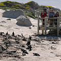 Boulders Beach Penguins by Andy Smy