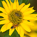 Box Elder Bug On False Sunflower by Douglas Barnett