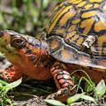 Box Turtle by Buddy Scott