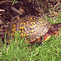 Box Turtle  by CAC Graphics