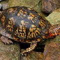 Box Turtle by Laura Corebello