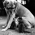 Boxer And Kittens by Ray Moreton