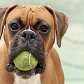 Boxer Dog by Jody Trappe Photography