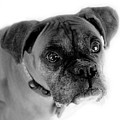 Boxer Dog by Marilyn Hunt