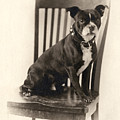 Boxer Sitting On A Chair by Unknown