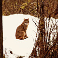 Bobcat In Snow by Peggy Collins