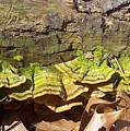 Bracket Fungus by Nature's Effects - Heather Seward