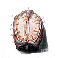 Brain, Anatomical Illustration, 1802 by Wellcome Images