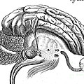 Brain And Eye, Descartes, Illustration by Wellcome Images