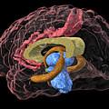 Brain Limbic System, 3-d Mri Scan by Arthur Togaucla