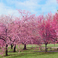 Branch Brook Cherry Blossoms by Regina Geoghan