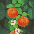 Branch Of Mandarin Orange by Angeles M Pomata