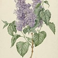 Branch With Purple Lilacs, Maria Geertruyd Barbiers-snabilie, 1786 - 1838 by Maria Geertruyd Barbiers