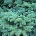 Branches Of Blue Spruce by Mariia Kalinichenko