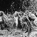 Brazil: Monkeys by Granger