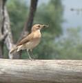 Brazilian Ovenbird by Cybele Chaves