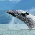 Breaching Humpback, Juneau by Tahomawind Photography