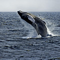 Breaching Humpback Whale In The Deep Blue Sea, Gloucester, Me, Atlantic Ocean by Michael Bessler