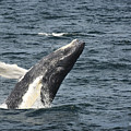 Breaching Humpback Whale by Jim  Calarese