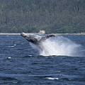 Breaching Whale Paint by Richard J Cassato