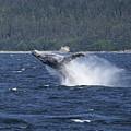 Breaching Whale. by Richard J Cassato