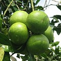 Breadfruit On The Vine by Hasani Blue